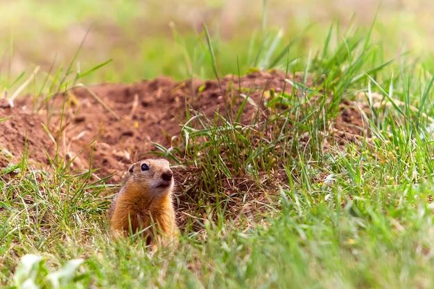 Gopher engraçado aparece de um buraco na grama verdejante em um dia ensolarado