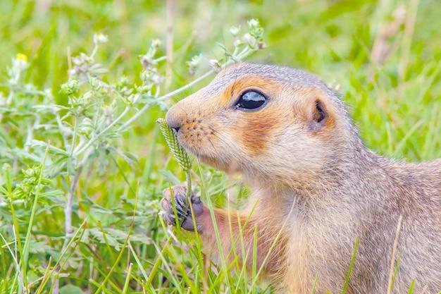 Gopher no gramado em um dia quente e ensolarado no verão