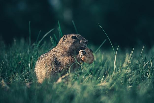 Gopher no parque comendo biscoitos. marmota na grama.