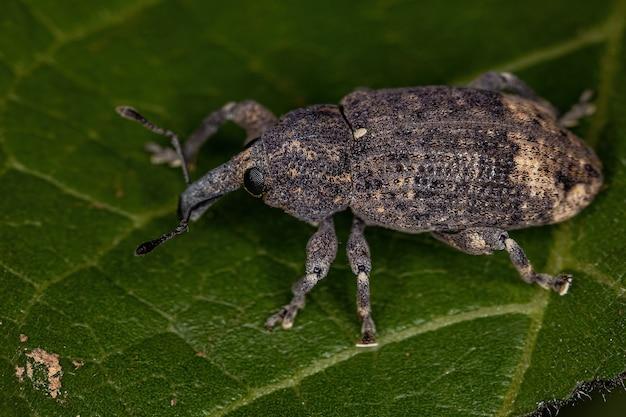 Gorgulho verdadeiro adulto da família curculionidae