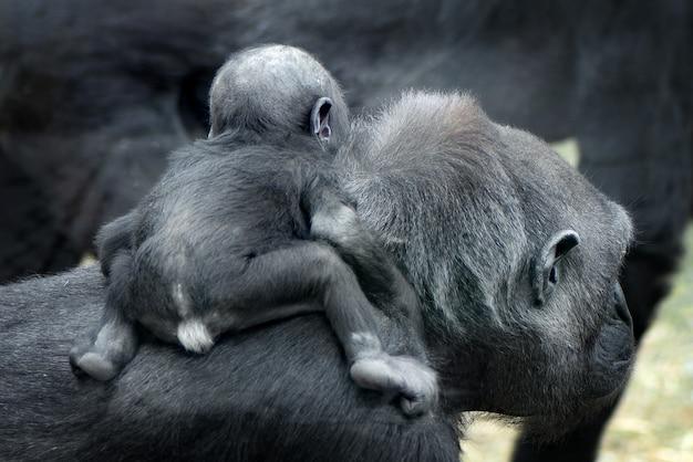 Gorila bebê nas costas da mãe