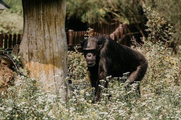 Gorila da montanha. forest national park em uganda