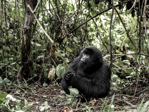 Gorila da montanha, parque nacional de virunga, rdc, áfrica