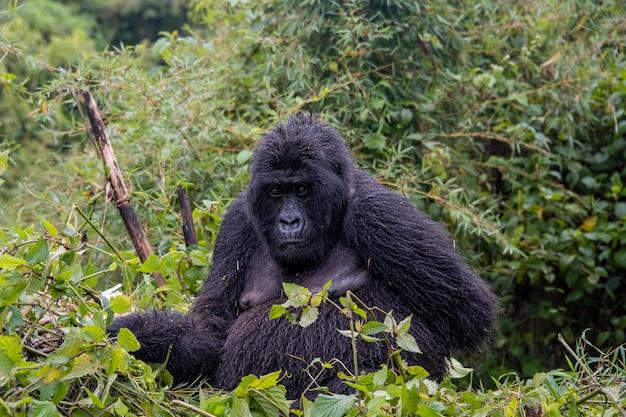 Gorila da montanha sentado na natureza
