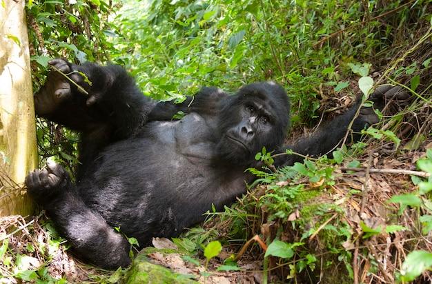 Gorila de montanha masculino dominante na grama. uganda. parque nacional da floresta impenetrável de bwindi.