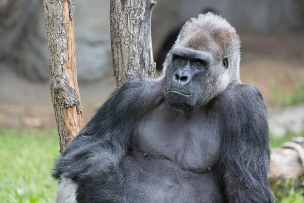 Gorila forte masculino sentado no chão