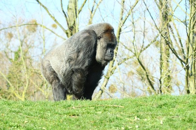 Gorila negro cercado por árvores durante o dia