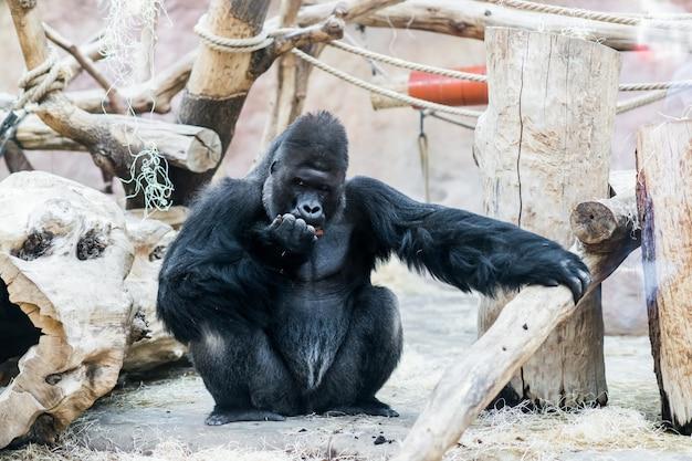 Gorila no zoológico