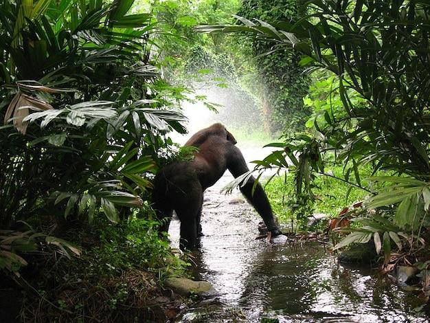 Gorila selva animal esperando