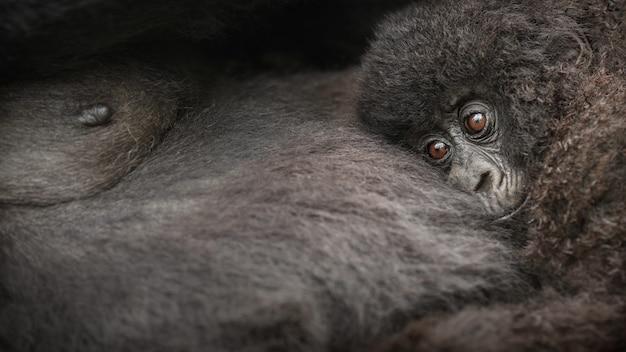 Gorilas da montanha gorila beringei beringei