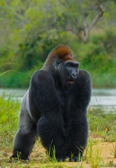 Gorilas das planícies em estado selvagem. república do congo