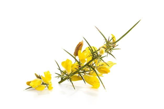 Gorse amarelo fresco em flor isolada na superfície branca. ulex europaeus
