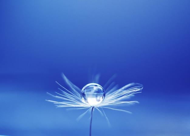Gota bonita da água em um macro da semente de flor do dente-de-leão na natureza.