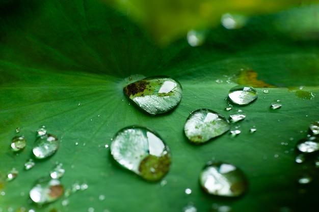 Gota de água na folha de lótus depois de chover