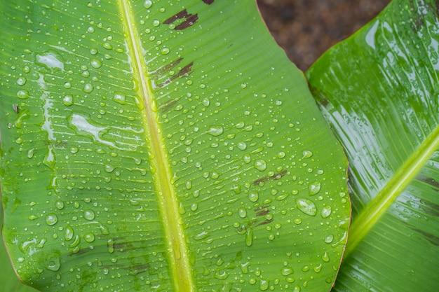 Gota de chuva no fundo de folhas de bananeira