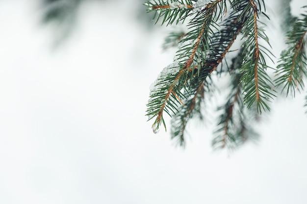 Gota de neve derretida no ramo de pinheiro. copie o espaço, foco seletivo