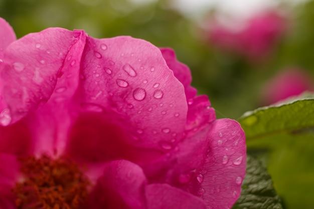 Gotas d'água na flor rosa