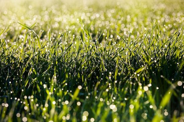 Gotas d'água na grama verde após o derretimento do gelo e da geada durante o degelo, close-up em um campo agrícola