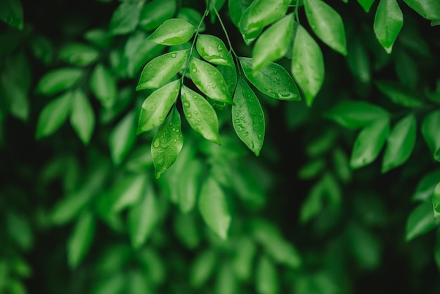Gotas da água nas folhas após a chuva com a folha verde no fundo borrado das hortaliças.