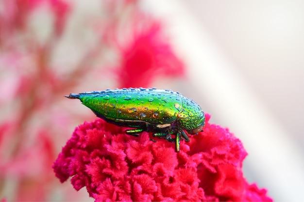 Gotas de água de buprestidae sobre eles são uma família de besouros lindos sobre fundo de flor vermelha