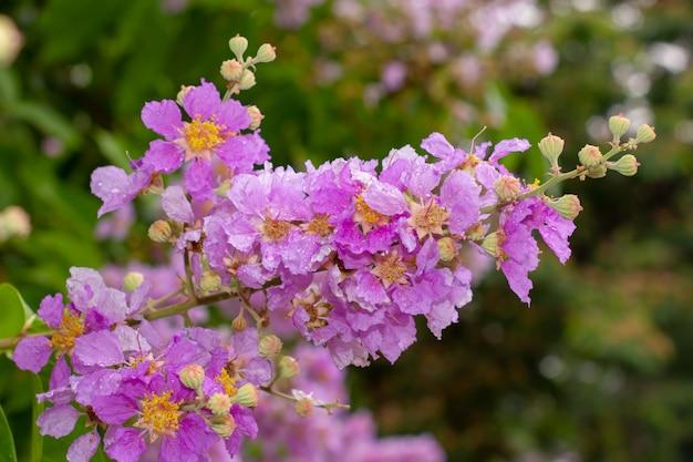 Gotas de água em flores rosa inthanin