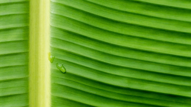 Gotas de água na banana verde folhas de fundo