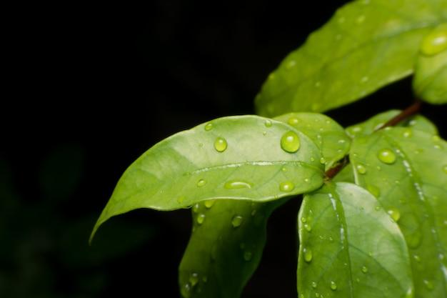 Gotas de água na macro de folha verde fresco