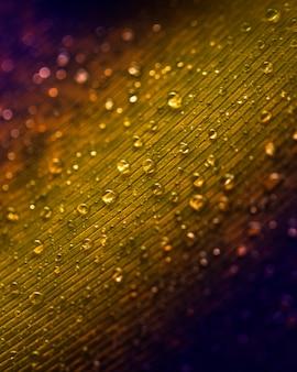 Gotas de água na textura de penas de pavão