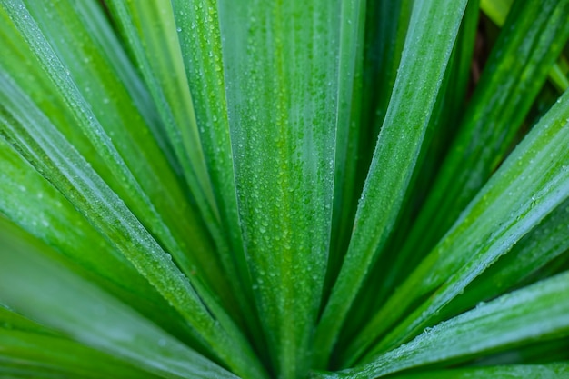 Gotas de água nas folhas durante a estação chuvosa