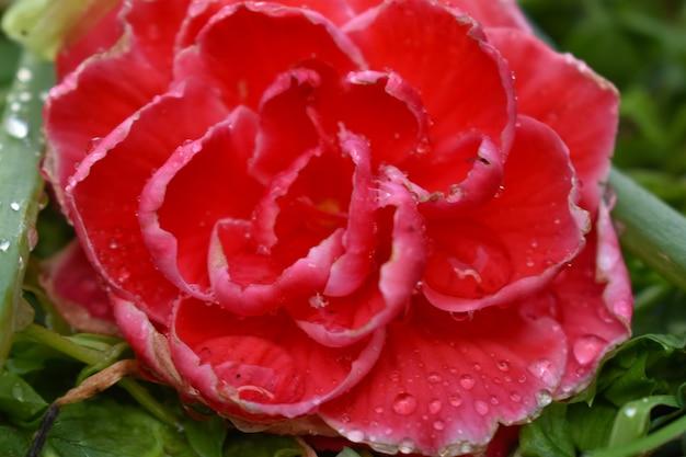 Gotas de água nas pétalas de rosa