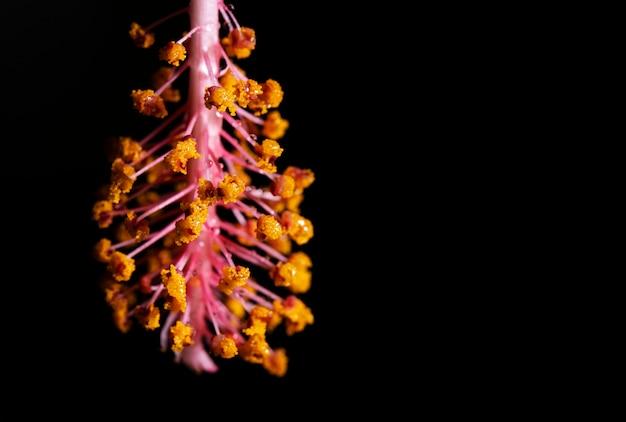 Gotas de água no pólen da flor-de-rosa