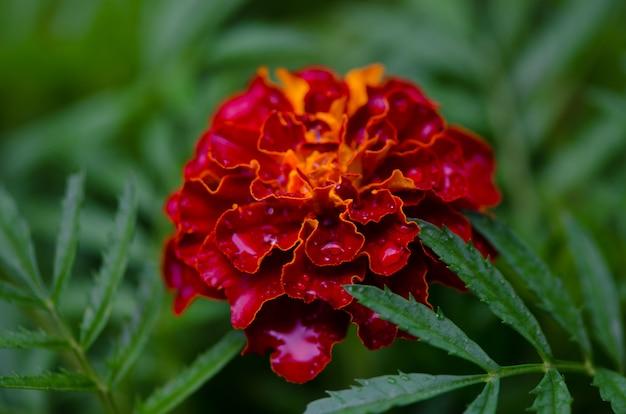 Gotas de água sobre as flores de malmequeres no jardim