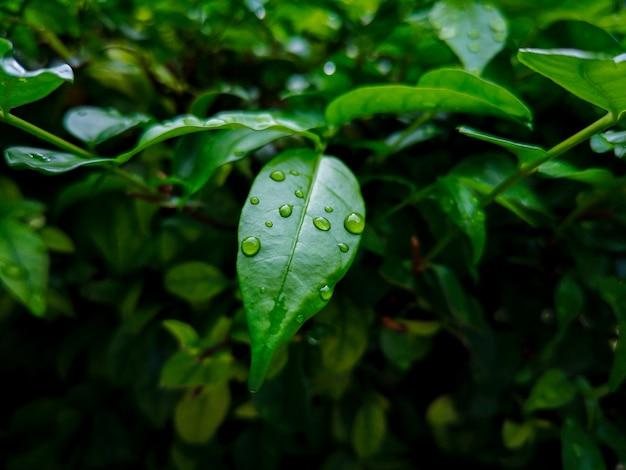 Gotas de chuva em folhas verdes