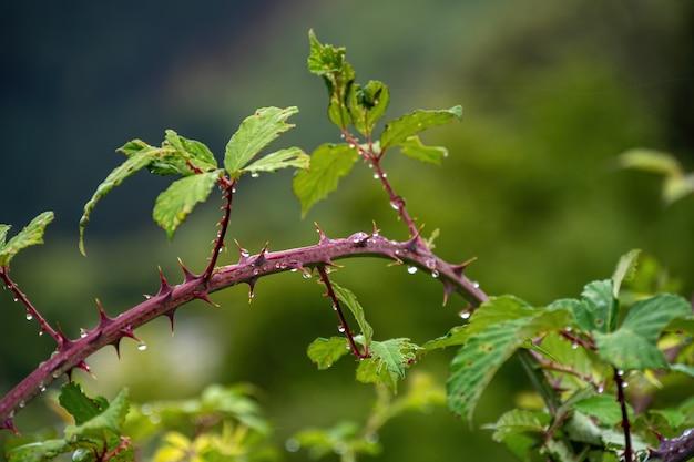 Gotas de chuva em um galho com folhas e pontas afiadas