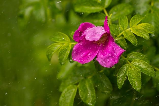 Gotas de chuva em uma rosa silvestre florida