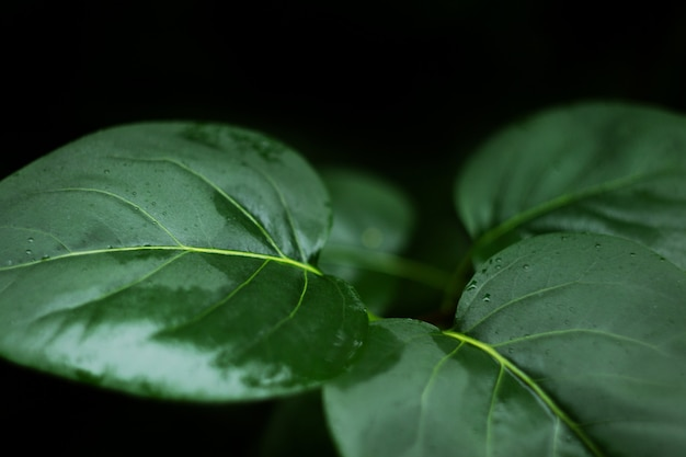 Gotas de chuva na folha de lótus verde depois de chover close-up
