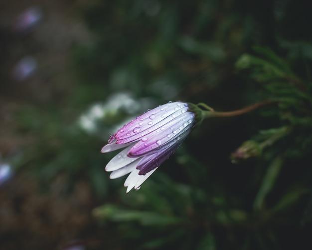 Gotas de chuva nas pétalas da flor