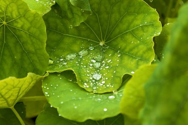 Gotas de chuva nas plantas verdes, gotas de orvalho nas folhas verdes