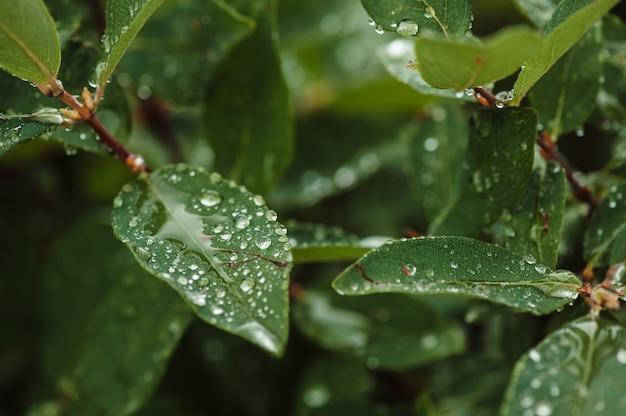 Gotas de chuva sobre a madressilva verde folhas no jardim