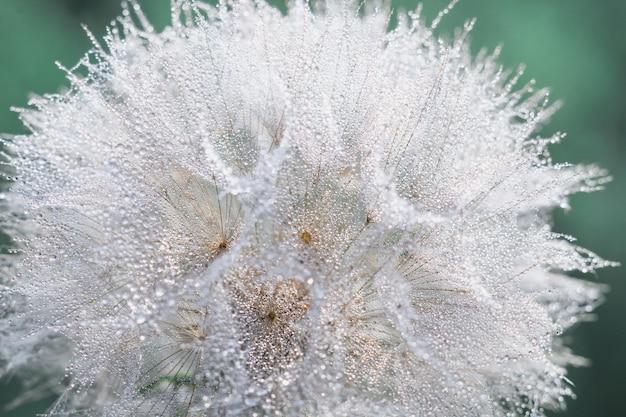 Gotas de orvalho bonitas em uma macro da semente do dente-de-leão.