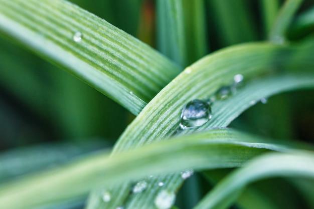 Gotas de orvalho de close-up de grama verde wheatgrass, foco suave