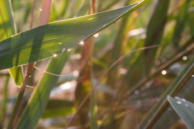 Gotas de orvalho em uma grama verde