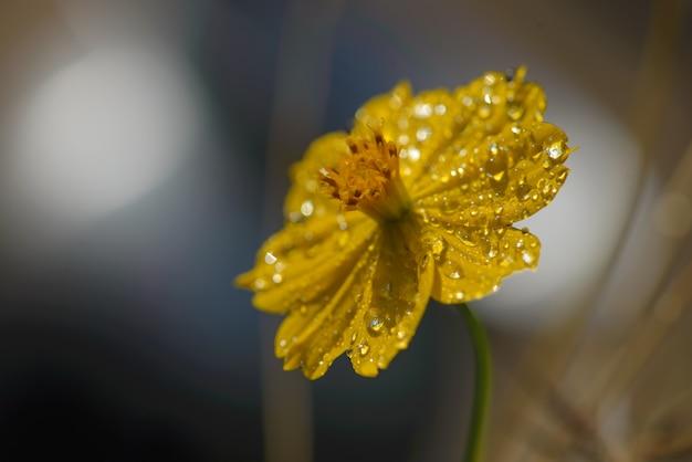 Gotas de orvalho na flor amarela