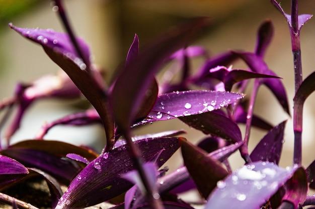 Gotas de orvalho na folhagem roxa de setcreasea purpurea