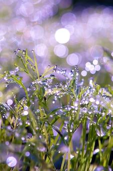 Gotas de orvalho na grama. brilho do sol do orvalho