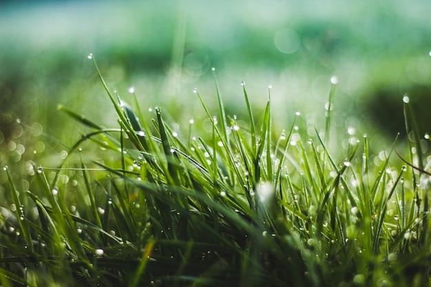 Gotas de orvalho na grama. grama da manhã natureza. grama jovem verde