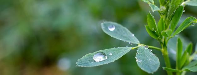 Gotas de orvalho nas folhas de alfafa, fundo verde da natureza e grama crescente no jardim.