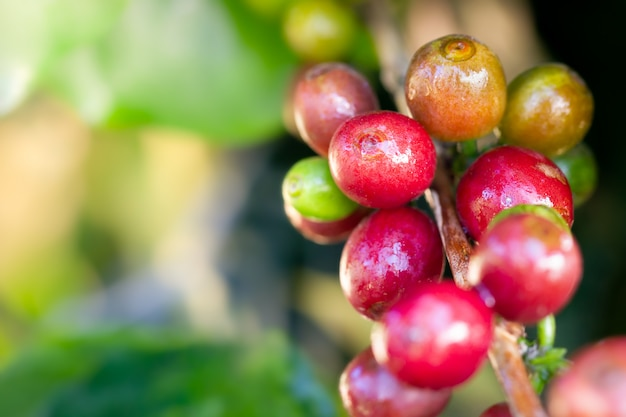 Gotas vermelhas do café e de água da grão do close up na árvore na exploração agrícola orgânica com luz solar da manhã.