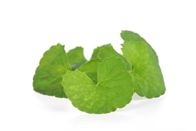 Gotu kola folhas verdes em uma superfície branca.
