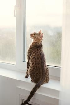 Gracioso felino da raça bengala sentado no parapeito da janela. padrão de casaco manchado. lindo gato de estimação doméstico